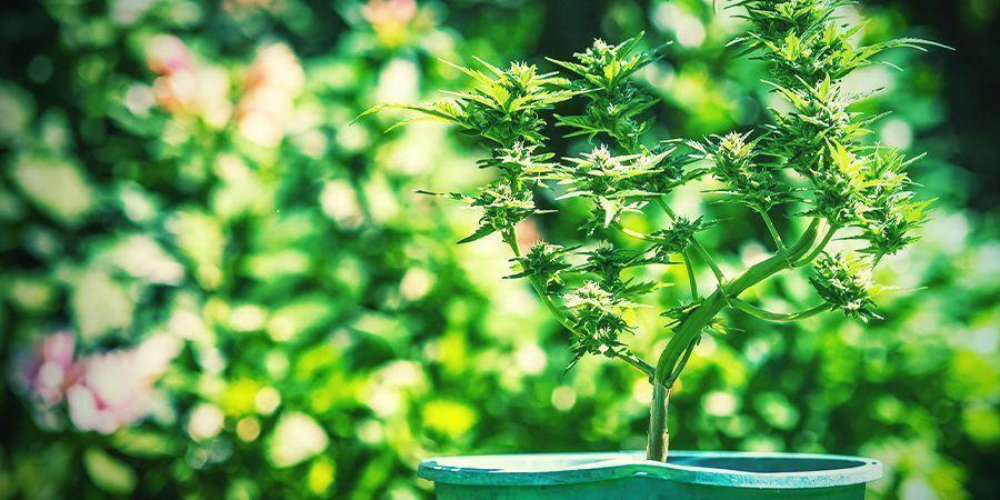Tips Voor Het Kweken Van Wiet In Potten