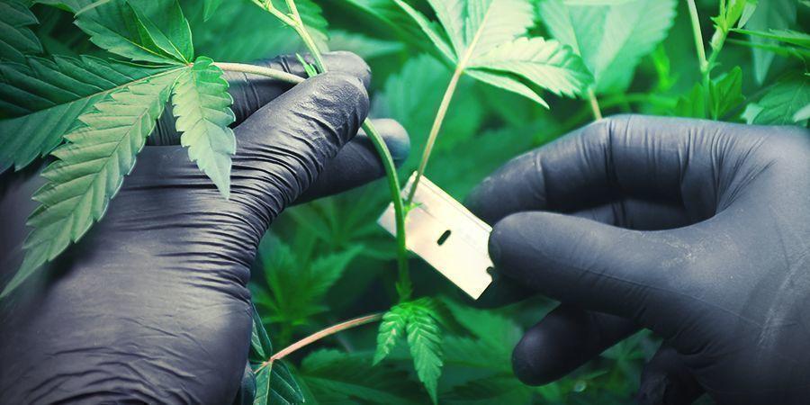 Cannabis Op Rockwool Kweken: Het Laten Wortelen Van Klonen