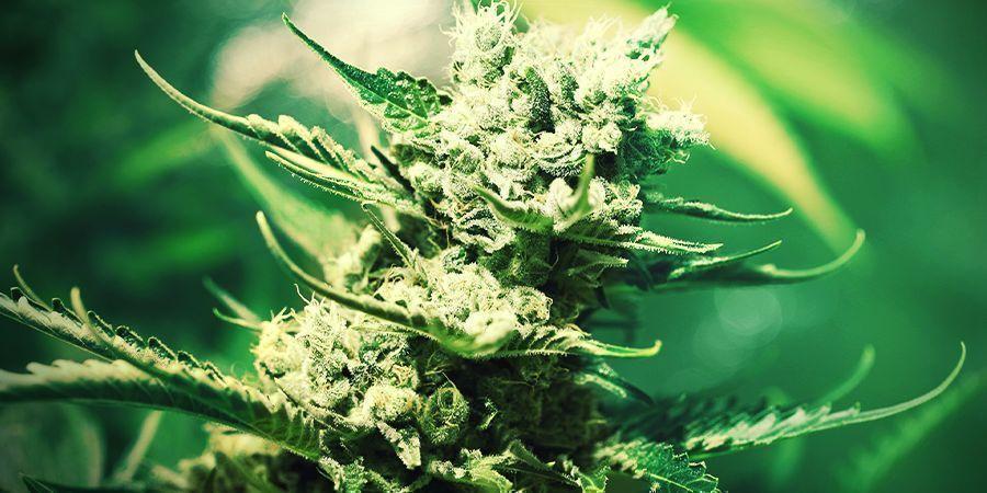 Cannabis Op Rockwool Kweken: BLOEIPERIODE