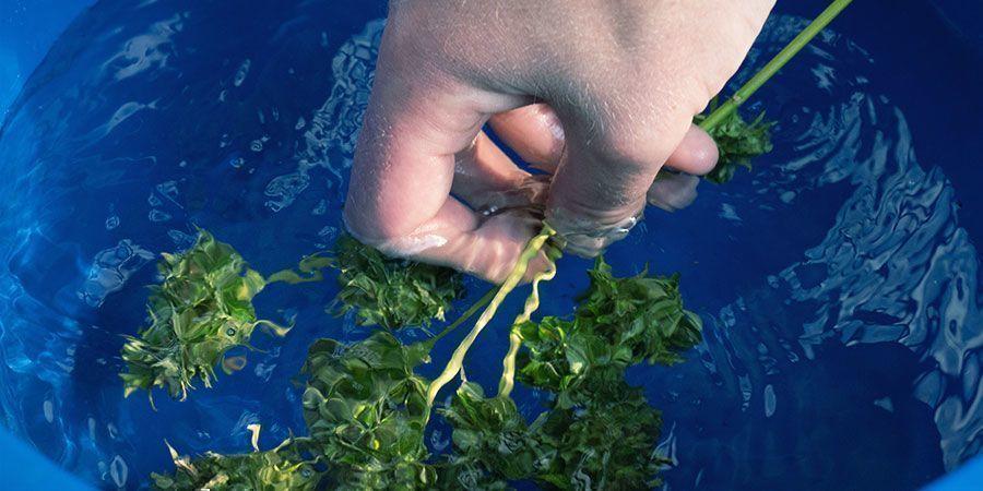 Cannabis Bud Washing: Stap Voor Stap