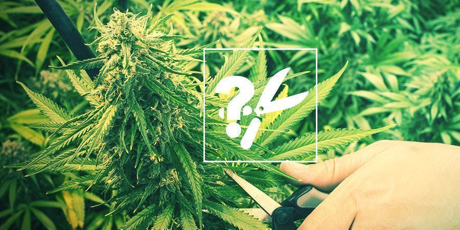 Wanneer En Hoe Je Cannabis Moet Oogsten