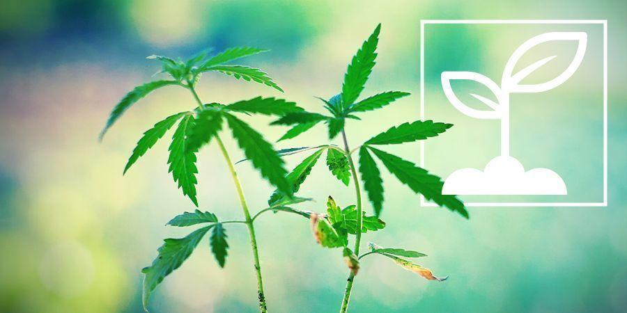 Wat Zijn Cannabis Zaailingen?