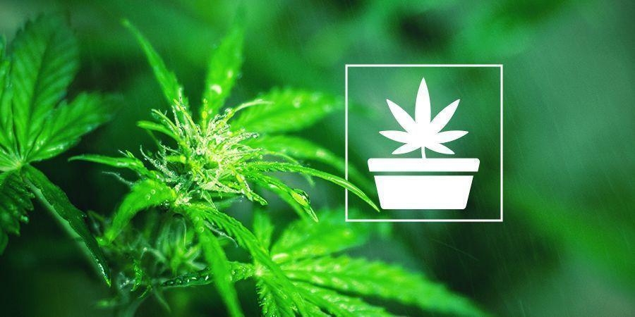 De Vegetatieve Fase, Ofwel Groeifase, Van Cannabis