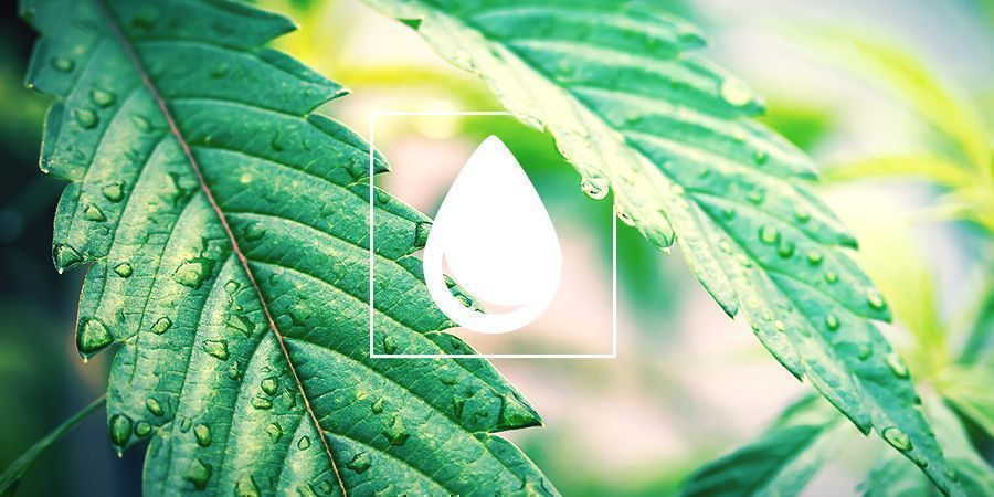 Hoe Geef Je Cannabisplanten Water?