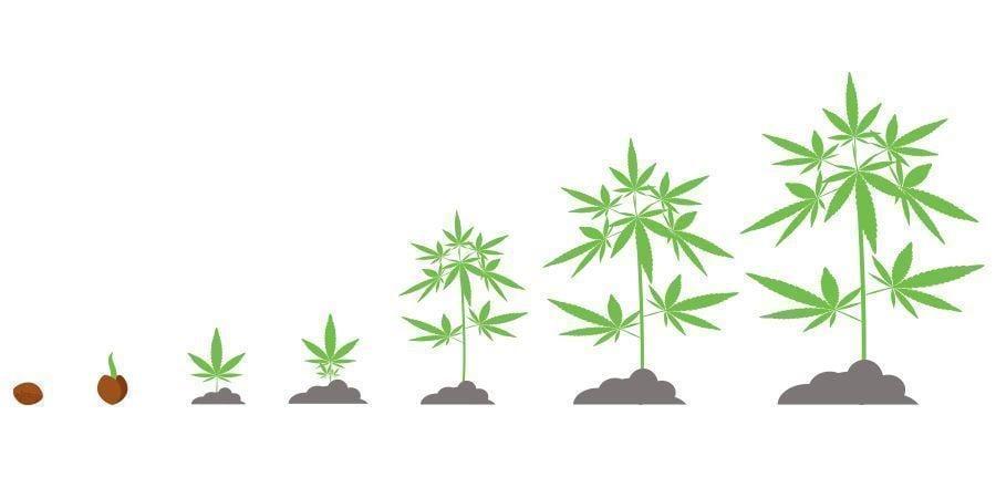 Tijdsbestek Cannabis