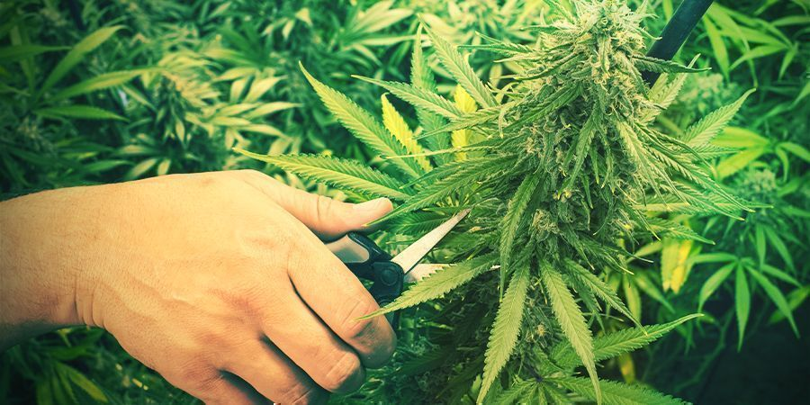 Cannabis Trimmen