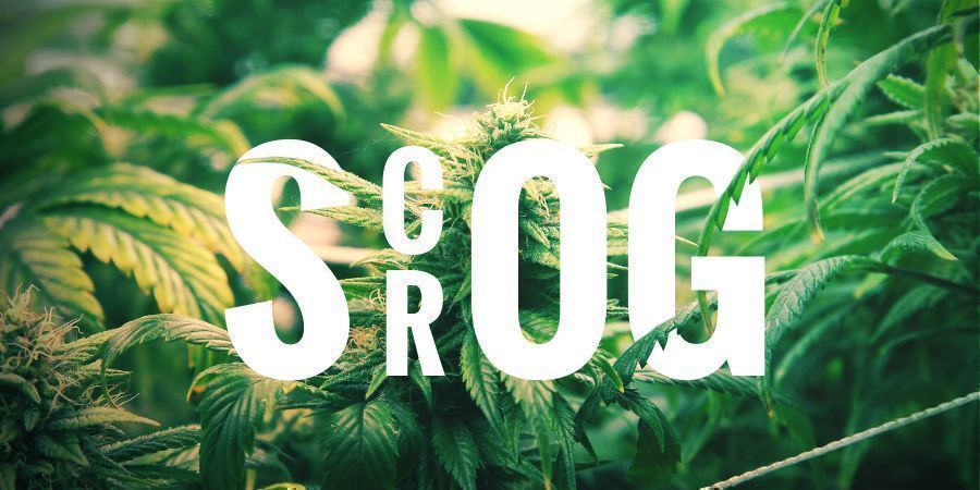 SCROG - SCREEN OF GREEN