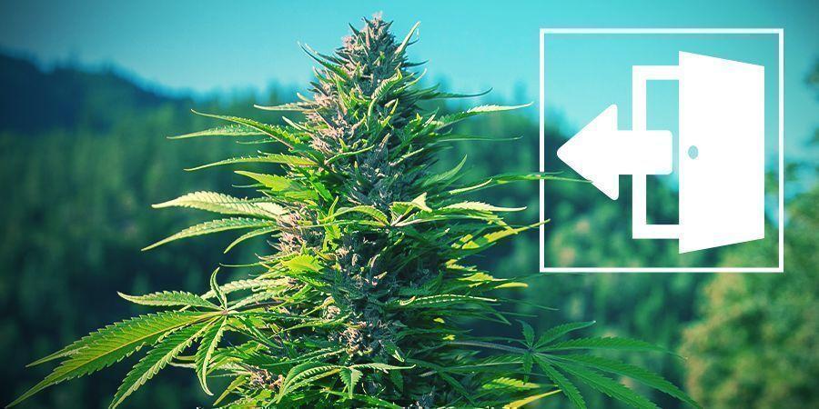 Cannabis Buiten Kweken
