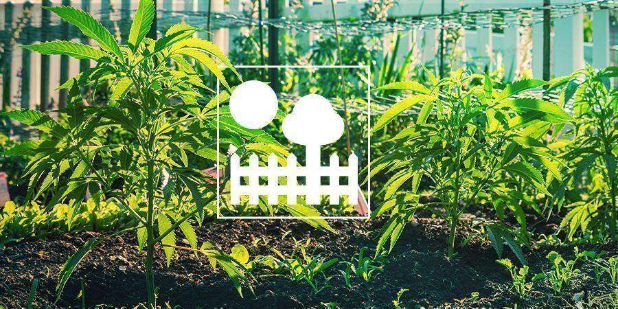 Wiet Kweken In Je Eigen Tuin