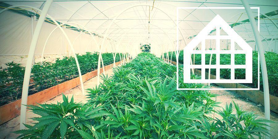 Cannabis Kweken In Broeikassen En Serres