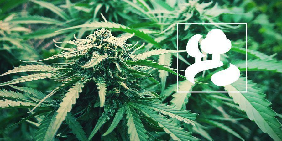 Het Guerrilla Kweken Van Cannabis