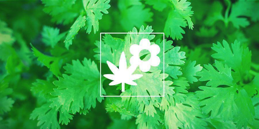 Cannabis Gezelschapsplant: Koriander