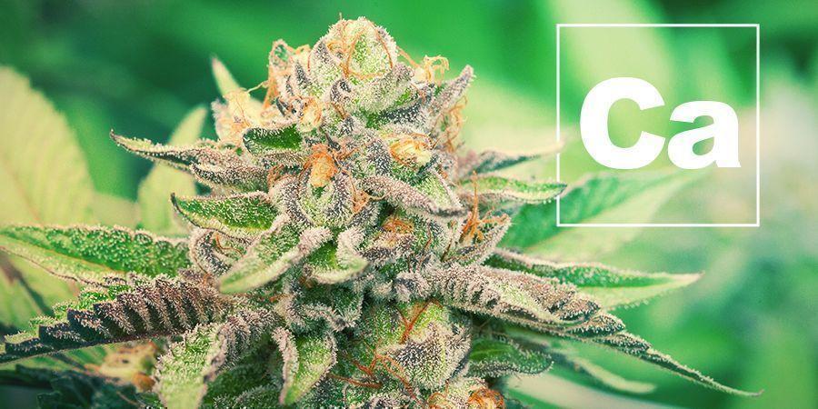 Calcium En Cannabisplanten