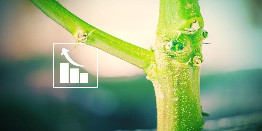 Waarom hebben wietplanten fosfor nodig?