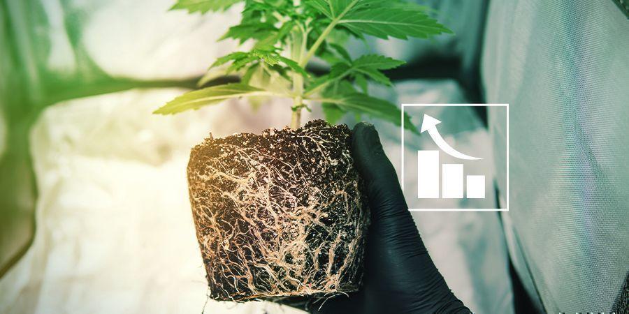 Waarom hebben wietplanten zwavel nodig?