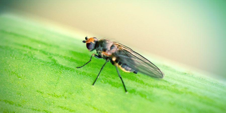 Mineervliegen