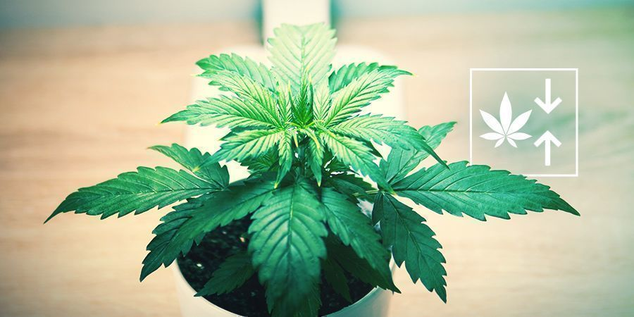 Waarom zou je feminized autoflowering planten kweken?