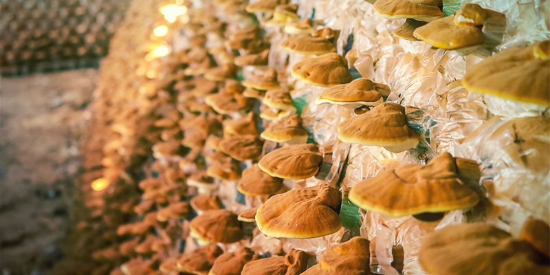 Hoe worden commerciële paddenstoeltincturen gemaakt?