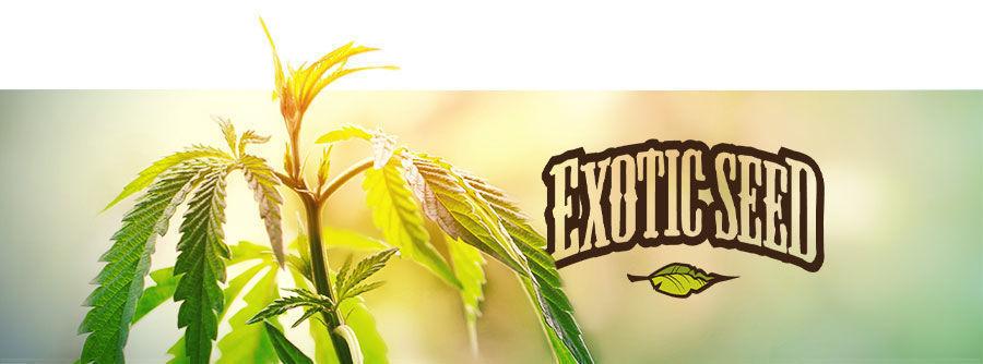 Exotic Seed - Wietzaadjes