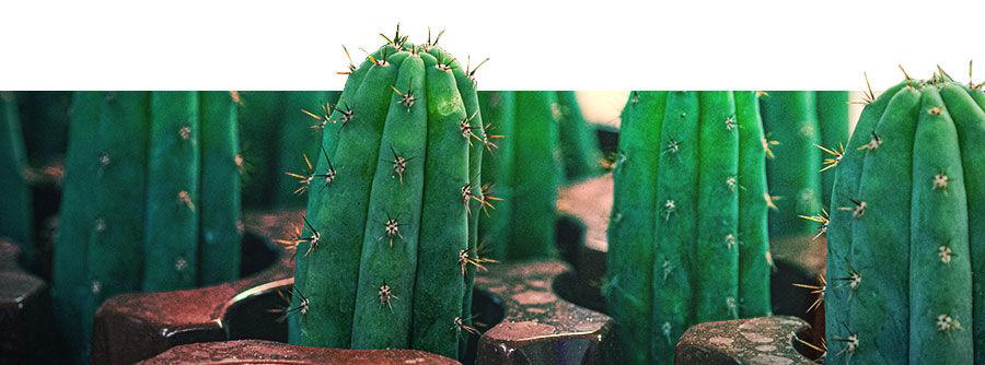 Informatie Over Mescaline Cactussen