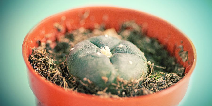 HOW TO BUY MESCALINE CACTI