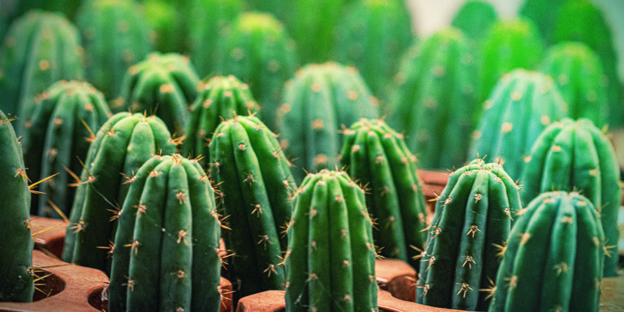 Cultivating Mescaline Cactus Cuttings