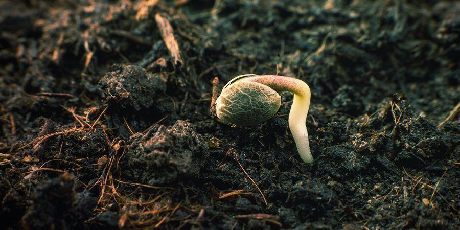 Hoe laat je de zaden van Sensi Seeds ontkiemen?
