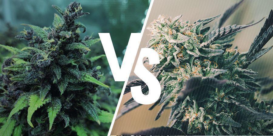 het verschil tussen feminized, autoflowering en regular zaden