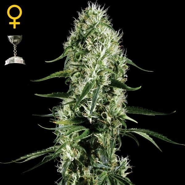 Greenhouse Seeds Super Silver Haze