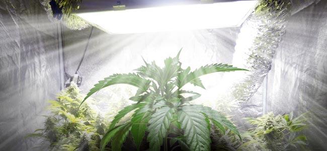 Binnenkweek Van Cannabis