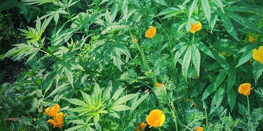 Tips voor een maximale opbrengst bij autoflowers: Plant gezelschapsplanten