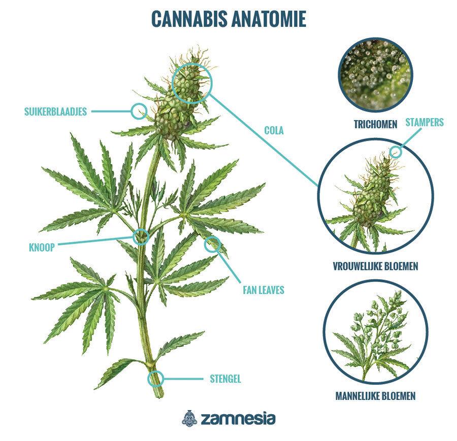 Cannabis-Anatomie