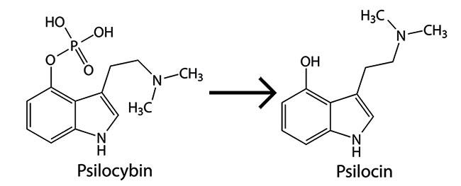 Psilocybin wordt psilocin