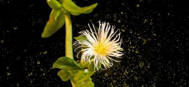 Sceletium Tortuosum Plant
