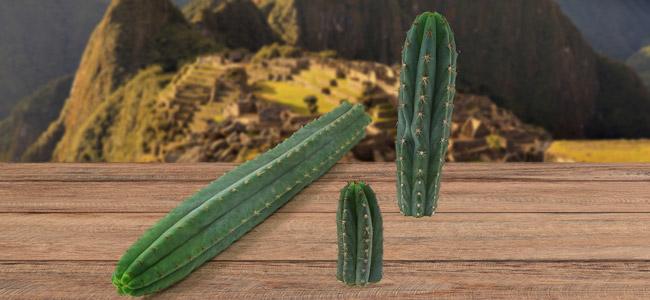 Peruvian Torch (Echinopsis peruviana)