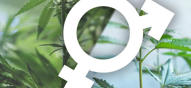 Cannabis Hermafrodiet