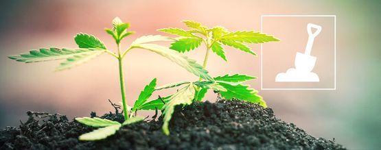 Alles Wat Je Moet Weten Over Het Kweken Van Cannabis In Aarde