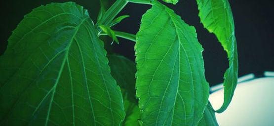 Salvia: Alles Wat Je Weten Moet
