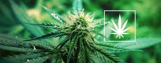 Wat Is Cannabis Sativa?