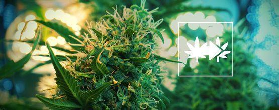 De Beste Manier Voor Het Klonen Van Cannabisplanten