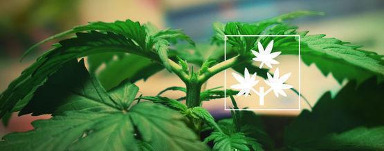 Cannabis Toppen: Alles Wat Je Weten Moet