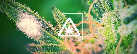 Veelvoorkomende Problemen In De Cannabis Tuin