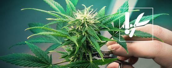 Cannabis Kniptechnieken En Tips