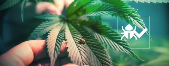 Insecten Die De Groei Van Cannabis Verbeteren