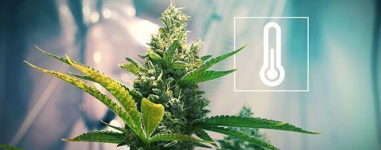 Temperatuur In de Cannabis Kweekruimte