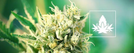 De Beste Verzorging Voor Cannabis Tijdens De Bloeiperiode