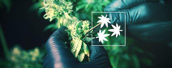 Cannabis Ontbladeren: Alles Wat Je Weten Moet