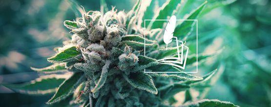 De Geschiedenis Van Medische Cannabis