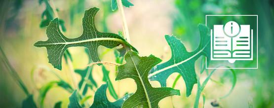 Alles Wat Je Zou Moeten Weten Over Gifsla / Wild Lettuce