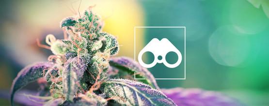 Jagen Op Cannabis Fenotypes: Alles Wat Je Weten Moet